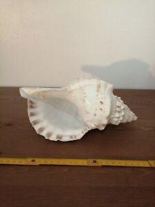 CHARONIA LAMPAS coquillage XL conque L 24.5 cm poids 473 grammes