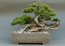 Mountain Pine - Pinus Mugo -20 Seeds- Brilliant Bonsai or slow-growing specimen