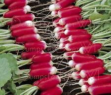 Organic FRENCH BREAKFAST Heirloom  RADISH 400+ seeds Crisp & Mild  NON-GMO