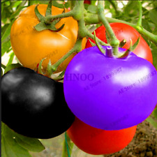 100 PCS Seeds Rare Rainbow Tomatoes Bonsai Plants Ornamental Organic Vegetables