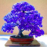 10Pcs Rare Blue Maple Seeds Maple Seeds Bonsai Tree Plants Potted New