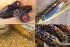 🔥 Zucker-Mais historische Sorten SEHR SELTEN Zuckermais alte Sorten bunt