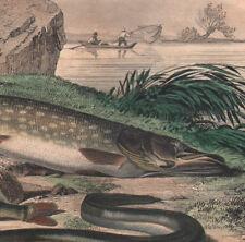 1839 Gravure originale brochet perche anguille pêche poissons