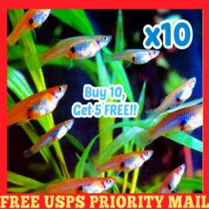 🐟 x10 Live Gambusia MOSQUITO FISH Aquarium Pond Feeder Guppy Fish FOOD Minnows