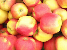 Apple Seeds- AMBROSIA - Bi-Colored Variety - Juicy with Sweet Flavor - 10  Seeds