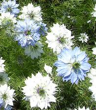 Nigella damascena BRAUT IN HAAREN über 200 Samen Kulturpflanze