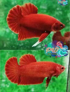 LIVE BETTA FISH PAIR M/F SUPER RED SOLID COLOR HMPK - READY TO BREEDING (SR3)