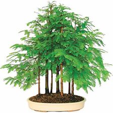 25 Dawn Redwood Tree Seeds, Metasequoia Glyptostroboides Bonsai - US SELLER