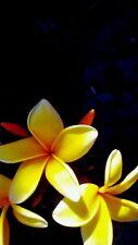 Plumeria frangipani Aztec Gold