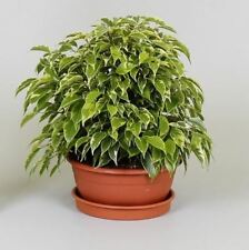 Ficus benj. 'Kinky' Houseplant in a 17cm pot. Weeping Fig