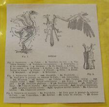 1898 Anatomie Squelette Oiseau Pigeon