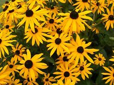 6 RUDBECKIA 'GOLDSTURM' MEDIUM PLUG PLANTS - HARDY PER.