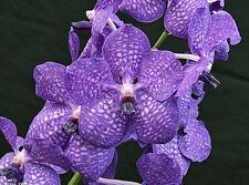 Orchid Vanda Manuel Torres ………Stock #267-2