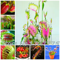VFT fresh form 2020 15 seeds Dionaea muscipula  ALL RED Mix Venus fly trap