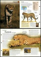 Cheetah #3 Mammals - Discovering Wildlife Fact File Fold-Out Card