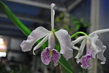 Orchidee Cattleya maxima La Pedrena Striata Jungpflanze Seedling Pflanzen