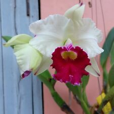 Cattleya Orchid Hybrid Lc. Chyong Guu Swan Big Flowers Size Plant From Thailand