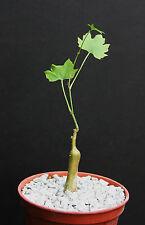 """Cissus tuberosa @J@ exotic rare caudex bonsai succulent plant vine cactus 4"""" pot"""
