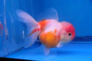 """1 Sakura Oranda Goldfish (3.25""""-3.5"""") Live Fish 2Day Fedex shipping"""