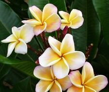 """Rooted Seedling, Rooted Plumeria, Tropical Plant Yellow Flowers ~ """"Chablis"""""""