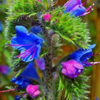Echium Plantagineum Low Flowers Seeds from Ukraine