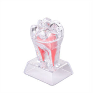 Dental Supplies Dentistry Crystal Base Hard Plastic Teeth Tooth Molar Model