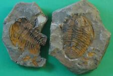 POSITIVE/NEGATIVE HAMATOLENUS TRILOBITE FOSSIL FROM MOROCCO - WELL PRESERVED