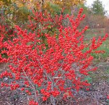 Winterberry Holly, Ilex verticillata 30 seeds