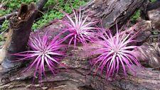 3 Tillandsia Ionantha ~Hot Pink ~ Colorized Fairy Garden Air Plants