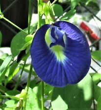 "10 Blue Butterfly Pea Vine, Organic, Ornamental, Edible, Tea ""Clitoria Ternatea"