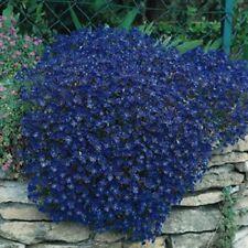 50+ AUBRIETA ROYAL BLUE, ROCK CRESS FLOWER SEEDS, PERENNIAL , DEER RESISTANT !
