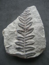 Fougère Fossiles Pecopteris. Carbonifère, Leon