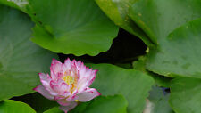 Liveseeds - Mini Polyphyll Pink Bonsai Lotus/ Water Lily Flower /5 Fresh Seeds