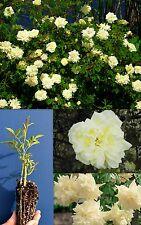 Rosa PARQUES' YELLOW white blanco con aroma a té China Golden Climber Rosa