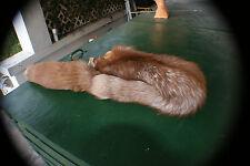 Cinnamon ranch fox pelt Huge 52' tip-tip prime winter pretty fur tanned leather