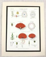 1883 Antique Botanical Print Red Poppy Flower Barberry Seeds Chromolithograph