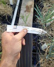 FREE SHIPPING Macrozamia Concinna 1Gallon Seedling Encephalartos Cycas Cycad