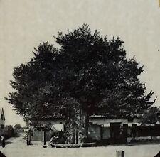 Martin Luther's Oak Tree Probably Wittenberg GERMANY Magic Lantern Glass Slide