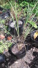 30 Semillas de Lemongrass- Citronella (Cymbopogon Flexuosus) seeds