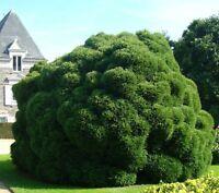 i! Sicheltanne !i exotisch Ziergras immergrün winterhart Garten Zierbaum Samen.