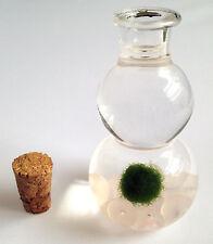 Baby Marimo Lucky Plant Moss Ball in Glass Bottle w Rose Quartz Gemstones