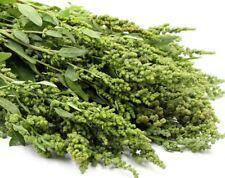 V512 Aztec Spinach Huauzontle Chenopodium Berlandieri x100 seeds Goosefoot