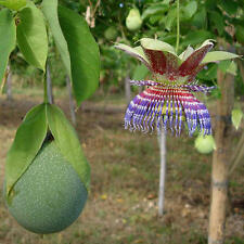 Passiflora Maliformis  5 finest Seeds