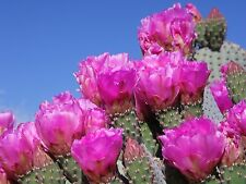 WILD ARIZONA PRICKLY PEAR BEAVER TAIL CACTUS * 2 PADS* OPUNTIA BASILARIS