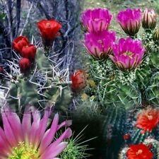 Hedgehog Cactus mix Seeds (Echinocereus Mix) 25+Seeds