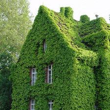 200 Samens Boston Ivy Vine Virginia Creeper Parthenocissus Tricuspidata Belcony#