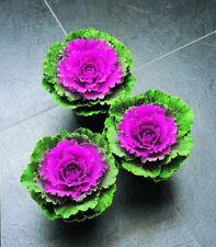 Kale Seeds Flowering Kale Songbird Red 50 Seeds ornamental cabbage