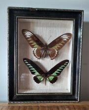 2 Papillons Ornithoptera & Brookiana dans cadre taxidermie - Malaisie