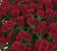 Yoder 'Brandi Burgundy' Garden Mums Fall Annual Flowering Plants/Plugs-12