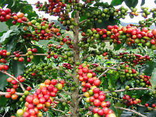 Coffee Tree (Coffea arabica) - 20 Fresh Seeds collected OCTOBER 2018